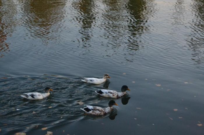 Patos surcando el río Ebro