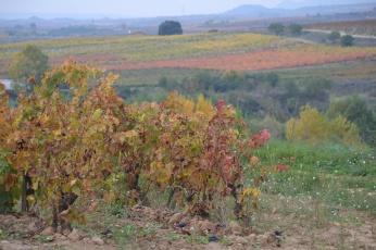 Uvas en las viñas