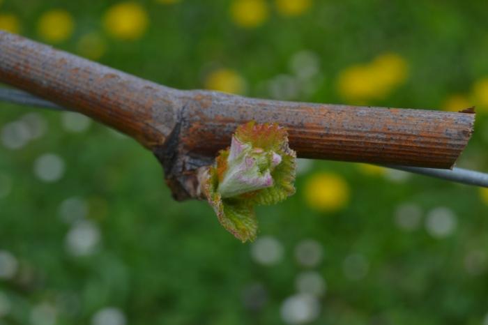 Flor del txakoli