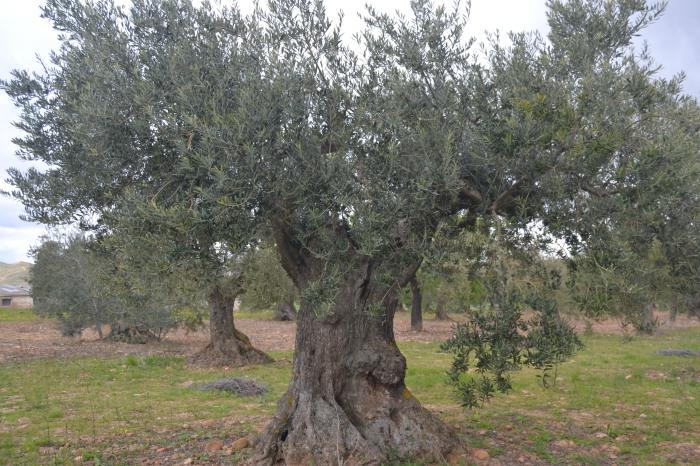 Olivos centenarios de Galilea